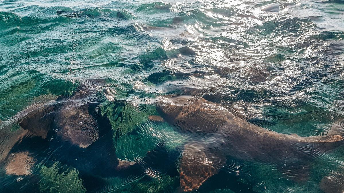Walvishaaien Belize Caye Caulker