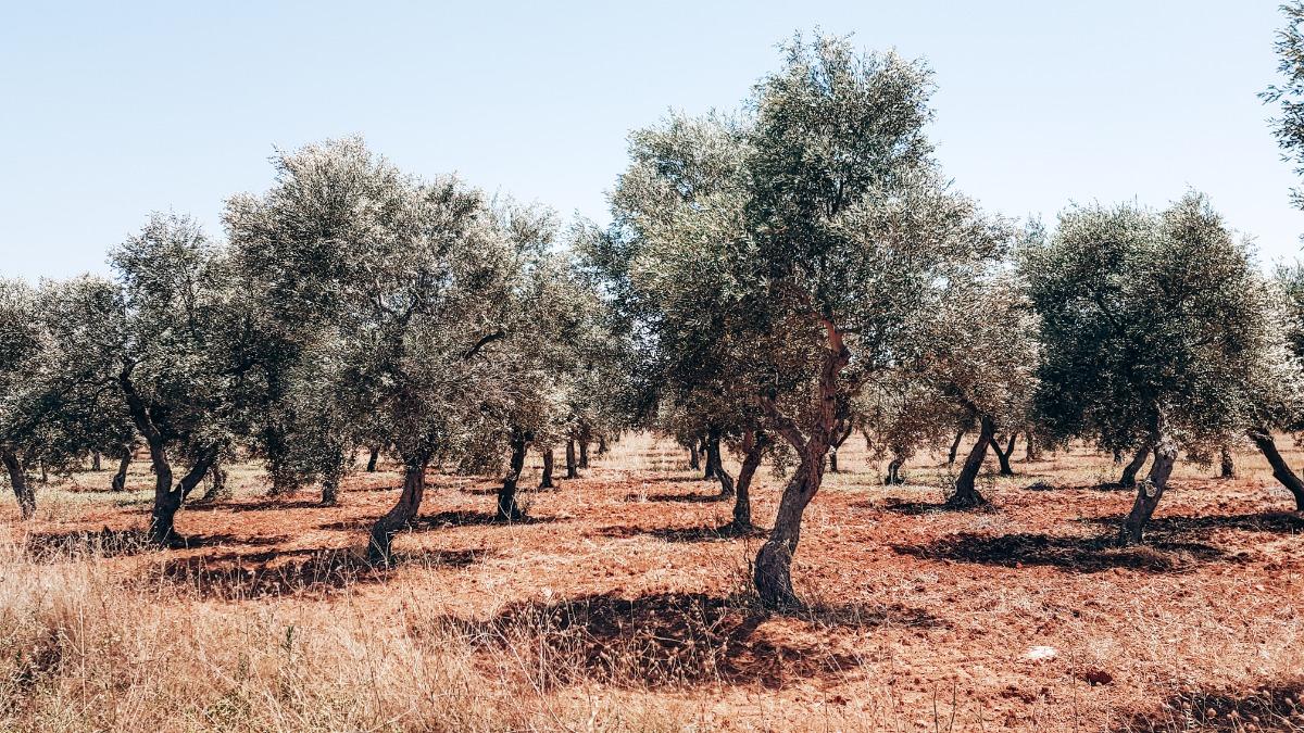 olijfbomen Puglia